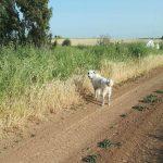 כלב רועים קלאסי למסירה