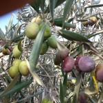 מתחילים במסיק הזיתים