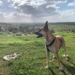 כלבה מדהימה מסוג מלינואה – רועה בלגית למסירה